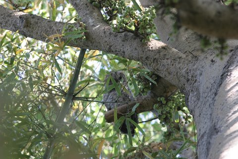un cooperative mottled wood owl lalbagh