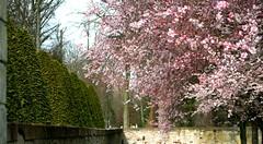 zierkirschen_7-100308 (siggi2234) Tags: märz frühling schlossgarten schwetzingen moschee kirschblüten zierkirschen shwotan siggi2234 siegfriedhuebner kirschblüüten