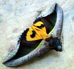 Colourful Moth (ahua_101) Tags: zeiss bug insect nokia moth carl superhero batman noctuidae catocalinae n73 macrophotosnolimits eudocimasalaminia