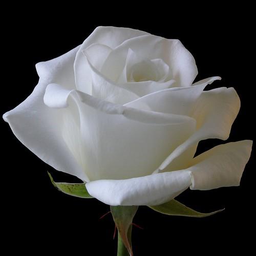 blanche / white 2