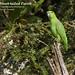 Short-tailed Parrot, Graydidascalus brachyurus