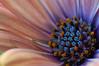 Osteospermum (sommerkind*) Tags: balkon blumen makro frühling osteospermum frhling tokina100mmf28atxprod