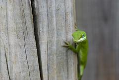 May I help you darling! DSC_9818 (Margiebean) Tags: lizard handheld inmybackyard nikond80105vr thepinnaclehof tphofweek7