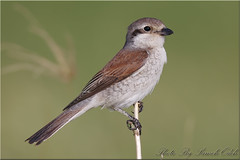 Red-backed Shrike-(female)-  - (Sameh Odeh) Tags: birds canon eos mark east jordan 1d middle iv qatar odeh shrike sameh 800mm  redbacked lanius collurio      qatarbirds