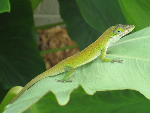 Loving Nature: Green Lizard