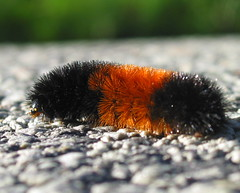 woolly bear - forecast is: long cold winter