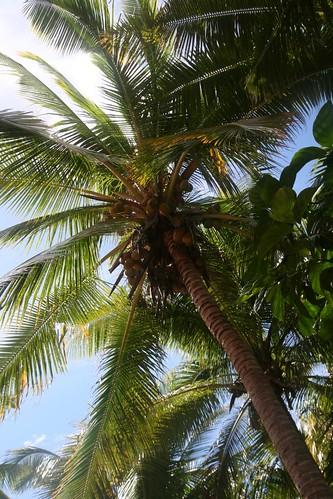fiji coconut palm matamanoa