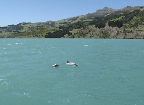 Hector's Dolphins