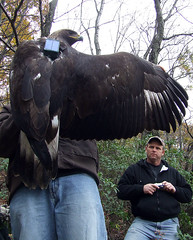 eagle with transmitter