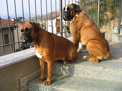 Duke & Mim (deboh76) Tags: friends italy dog pet scale cane stairs stair duke boxerdog lips step together fawn mug boxer scala lip amici sempre insieme varese muzzle muso gradino itsallabouttheboxers mim fulvo alwaystogether fawnboxer boxerplace boxerpuppiesbigandlittle canidi dukemim sempreinsieme cuccioloni 4theloveofboxers patafruttoli bruttomuso boxerfulvo