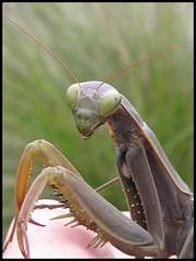 Pianista (HanaHoudkova) Tags: naturaleza insectos macro nature bug mantis insects priroda soe bicho mantid hmyz blueribbonwinner gottesanbeterin macromundo kudlanka goldenmix mywinners fangschrecke anawesomeshot megashot onlythebestare macromix fiveflickrfavs buzznbugz wonderfulworldmix excapture themacrogroup macromarvels 5flickrfavs theperfectphotographer excapturemacro