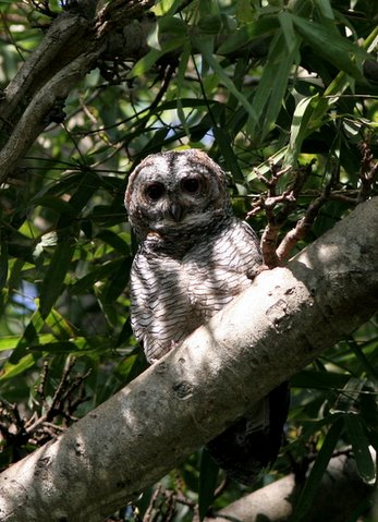 mottled wood owl pose two (single one)
