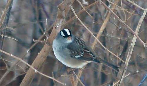 Male White Crowned Sparrow
