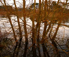 Trees in the lake (torimages) Tags: england cloud lake tree yellow cloudy unitedkingdom earlymorning somerset sd allrightsreserved nosunrise westhay cloudyday yellowmoss eirie donotusewithoutwrittenconsent copyrighttorimages