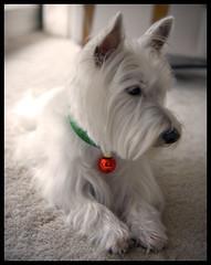 (paulh192) Tags: christmas dog home michigan westie ornament westhighlandwhiteterrier grandrapids golddragon mywinners anawesomeshot ultimateshot