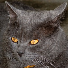 golden eyes (OliBac) Tags: eye cat gold grey gris golden eyes chat or oeil yeux moustaches malo polaris pupille pelage vibrisses olibac aplusphoto theperfectphotographer photoexplore