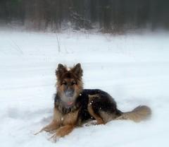 Brrrrrrr! Its Cold Outside (The Tiquehunters Wife ( formerly Teeny Tiny Cabin)) Tags: winter dog snow outdoors germanshepherd blizzard winterwonderland