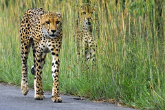 Cheetah (Arno Meintjes Wildlife) Tags: africa wallpaper nature animal bush wildlife safari explore bigcat cheetah rsa carnivore blueribbonwinner parkstock supershot mywinners anawesomeshot impressedbeauty superbmasterpiece arnomeintjes betterthangood