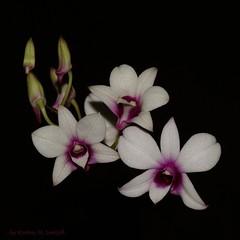 My First Orchide (Kirsten M Lentoft) Tags: white flower purple excellence orchide masterphotos muahhhh momse2600 onlythebestare goodnightdearest kirstenmlentoft
