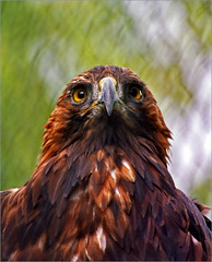 Passport photo (Katarina 2353) Tags: world portrait bird film nature animal photography zoo photo nikon europe flickr image hawk feathers belgrade passport beograd soko ptice katarinastefanovic katarina2353 gettylicense