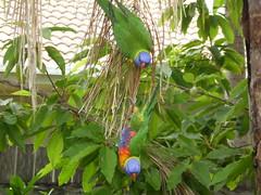 Up side down (honeypestypie) Tags: birds lorikeets