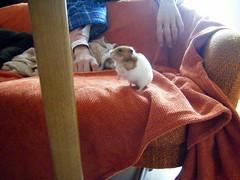 20080309 - 28 (kayako_) Tags: hamster pon