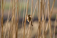 Bird - Kfarzabad Hima (A. Saleh) Tags: lebanon bird nikon reserve d200 kfar saleh nohunting 70300 hima bekaa asaad nikon70300vr zabad wwwasaadsalehcom kfarzabad kfrzabad