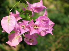 (Tölgyesi Kata) Tags: bougainvillea withcanonpowershota620 botanicalgarden füvészkert budapest botanikuskert greenhouse hungary zöld