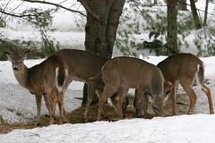 Yearlings (deerluvr) Tags: ontario canada muskoka today inmybackyard yearlings mywinners springhope survivedthewinter