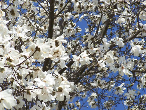 star magnolia tree pictures. of a star magnolia while