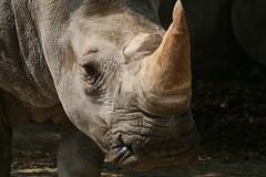 Rhino (Steve-kun) Tags: zoo jp flickrcom stephendraper stevedraperpictures draperphotography stephendraperphotography  flickrjp flickrflickr jpcom