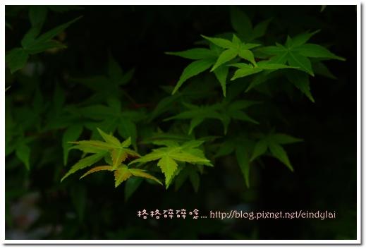 20080503楓紅_038