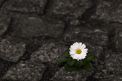 So Lonely (Philipp Klinger Photography) Tags: white flower green yellow pavement stones paving daisy lonely philipp klinger dcdead