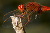 Red is back in style (macropoulos) Tags: topf25 scarlet 500v20f dragonfly animalia arthropoda darter odonata libellulidae insecta anisoptera erythraea hexapoda canonspeedlite430ex canonef100mmf28macrousm crocothemis mywinners canoneos400d 30faves30comments300views ourplanet specinsect vivitar2xteleconverter goldenphotographer macrophotosnolimits macrofoted buzznbugz macromarvels funfanphotos ahqmacro