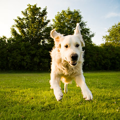 The Flying Mutt... (mahonyweb) Tags: uk dog goldenretriever puppy flying interestingness interesting explore canon5d alfie lightroom top500 flickrexplore magicdonkey canon24105lis mahonyweb wwwmahonywebcom