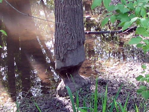 Eager Beaver (2/2)