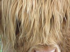 Scottish buffalo (maripintau) Tags: scotland powershot scozia sx10is canonsx10is