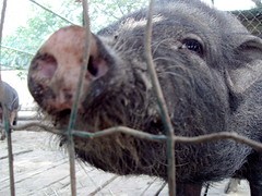 pigs in zen (essesprinzi) Tags: animal fur nose pig furry cage animale maiale naso muso porco peloso miralfiore