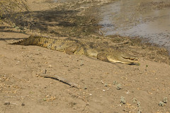 Croc_080707_009 (Graham King Photography) Tags: africa southafrica crocodile predator krugernationalpark reptiles
