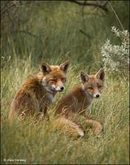 Together ... (Alex Verweij) Tags: love grass canon dunes daughter young mother son fox 7d gras duinen awd tenderness jong vos redfox reinier burcht welpen vossen vulpes welp welpjes alexverweij mygearandme mygearandmepremium mygearandmebronze