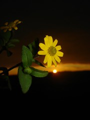 Sunset & Flower (kezwan) Tags: sunset flower yellow kezwan 1on1sunrisesunsets