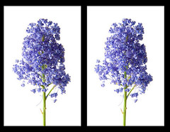 creek-071004-004-3d (neilcreek) Tags: flowers flower 3d crosseye stereo chacha
