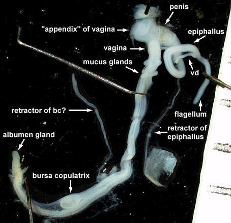 trochoidea genitala