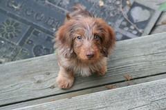2 of 365 (Sunday, November 4, 2007) (Tobyotter) Tags: dog pet frank hound canine dachshund perro hund wienerdog dackel teckel k9 doxie sausagedog 365days anawesomeshot pointyfaceddog