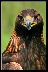 Orel skaln - Golden Eagle (pavel conka) Tags: detail animal animals digital canon eos golden eyes europa raw faces czech eagle natur hdr breathtaking 2007 30d aguila orel naturesfinest ptci ptk zvata chrysaetos echy supershot amazingtalent oi skaln colourartaward dravec