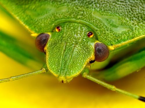 Green Shield Bug - (Acrosternum hilare) by Thomas Shahan.