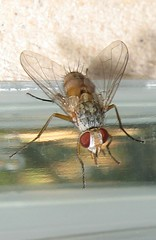 Just a fly   (yoel_tw) Tags: insect fly insects housefly blueribbonwinner