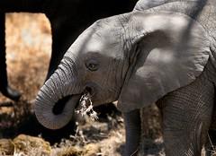 baby elephant (AnyMotion) Tags: africa travel nature animals tanzania tiere reisen wildlife 2006 afrika elephants serengeti animalplanet elefanten tansania anymotion elephantsrhinosgiraffeshippos