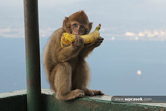 Young Gibraltar Barbary Macaque (wprasek) Tags: food animal animals fruit cuisine monkey spain wildlife young banana andalucia bananas ape tropical beast es diet creatures creature subtropical mammals gibraltar primate beasts zoology macaque barbary foodandnutrition undomesticatedanimals rockofgibraltarlookout warrenprasek folionatureanimals xoodu wprasek wwwxooducom wwwwprasekcom