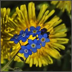 Blue and yellow (Ian@NZFlickr) Tags: flowers bravo nz otago dunedin aotearoa naturesfinest flickrsbest specnature passionphotography